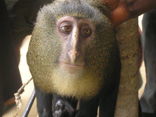 New monkey species